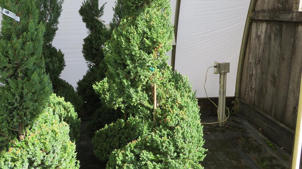 Juniperus chinensis 'Blue Point' BLUE POINT JUNIPER