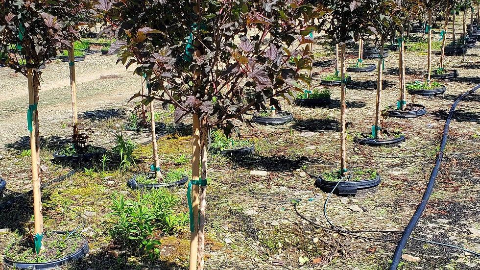Physocarpus opu 'Monlo' (PP 11,211) DIABOLO® NINEBARK TREE