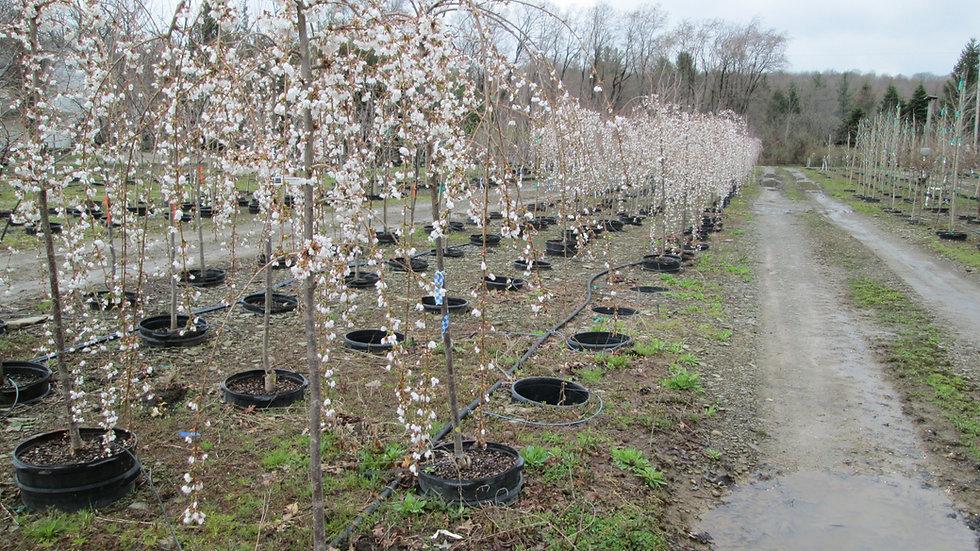 Prunus x 'Snowfountain' SNOWFOUNTAIN® WEEPING JAPANESE CHERRY