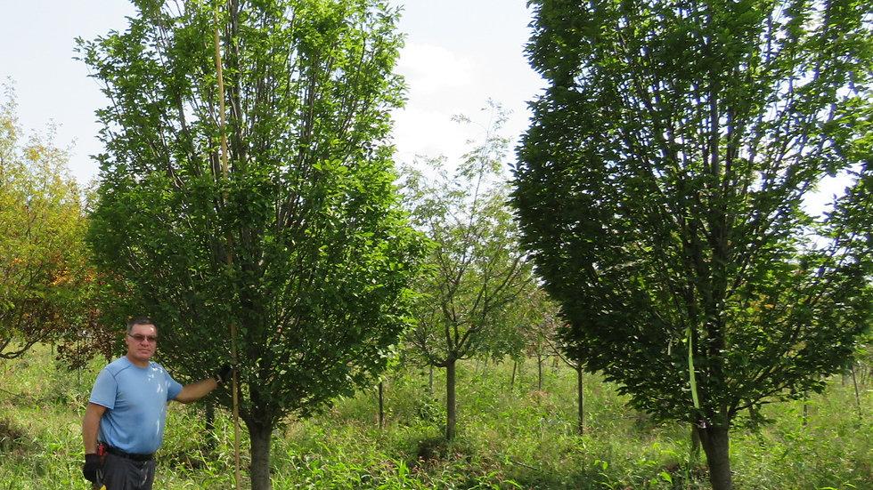 Carpinus betulus 'Fastigiata' PYRAMIDAL EUROPEAN HORNBEAM