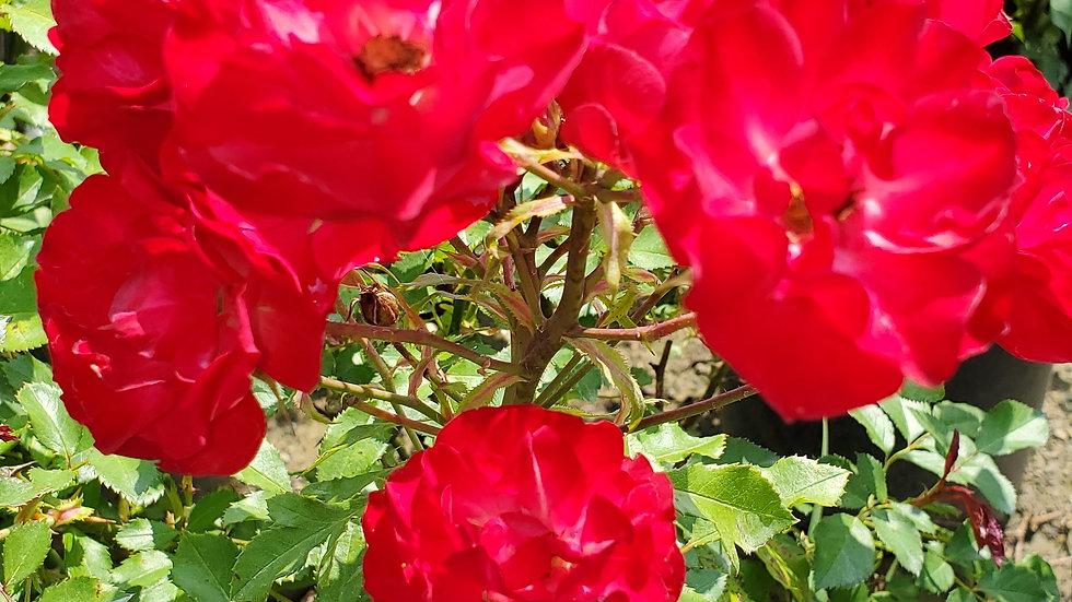 Rosa 'BAIfairy' (PP16,131) EASY ELEGANCE® MYSTIC FAIRY® ROSE
