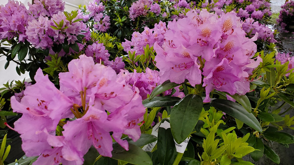 Rhododendron catawbiense 'Grandiflorum' GRANDIFLORUM RHODODENDRON