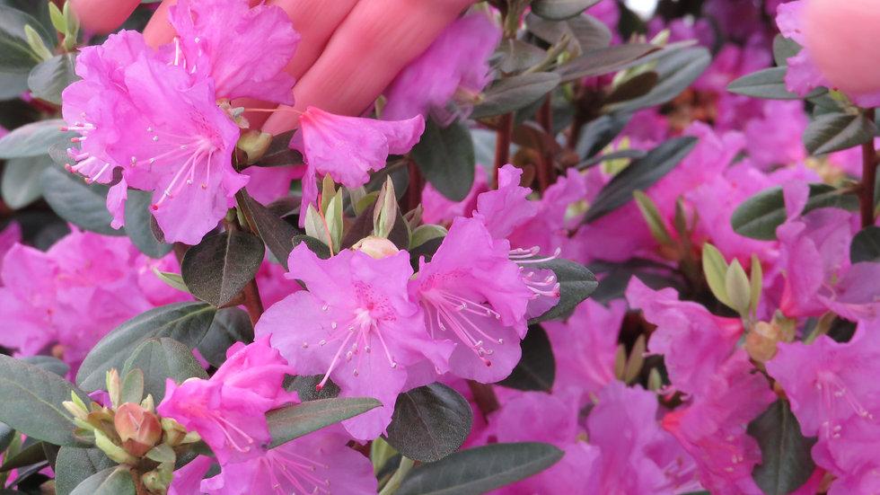 Rhododendron P.J.M. 'Elite' ELITE P.J.M. RHODODENDRON