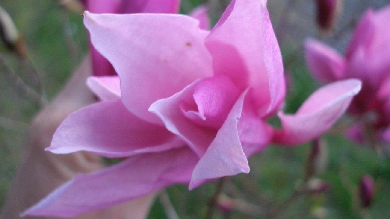 Magnolia x liliiflora 'Betty' BETTY MAGNOLIA