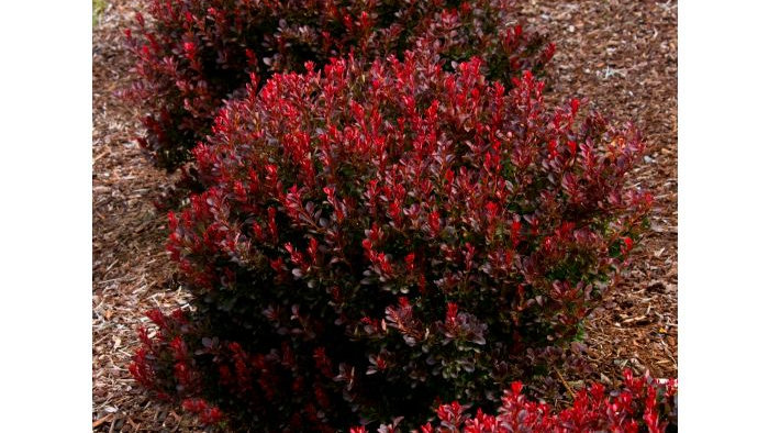 Berberis thunbergii 'Pygruzam' PYGMY RUBY™ BARBERRY