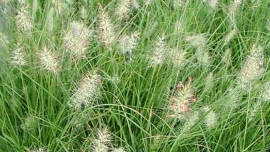 Pennisetum alopecuroides 'Little Bunny' LITTLE BUNNY FOUNTAIN GRASS