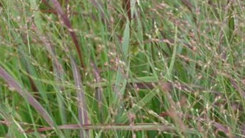 Panicum virgatum 'Heavy Metal' HEAVY METAL SWITCH GRASS