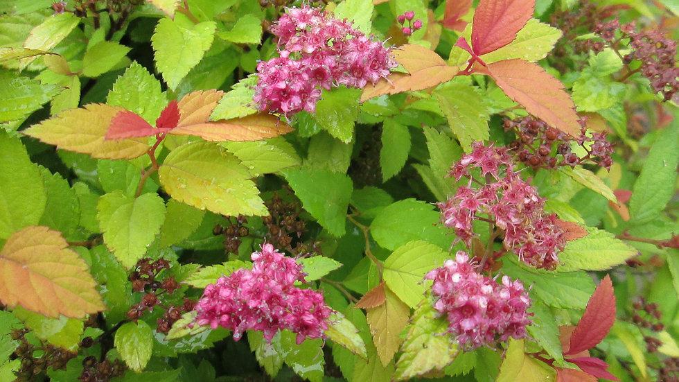 Spiraea japonica 'Walbuma' (PP9,363) MAGIC CARPET SPIREA