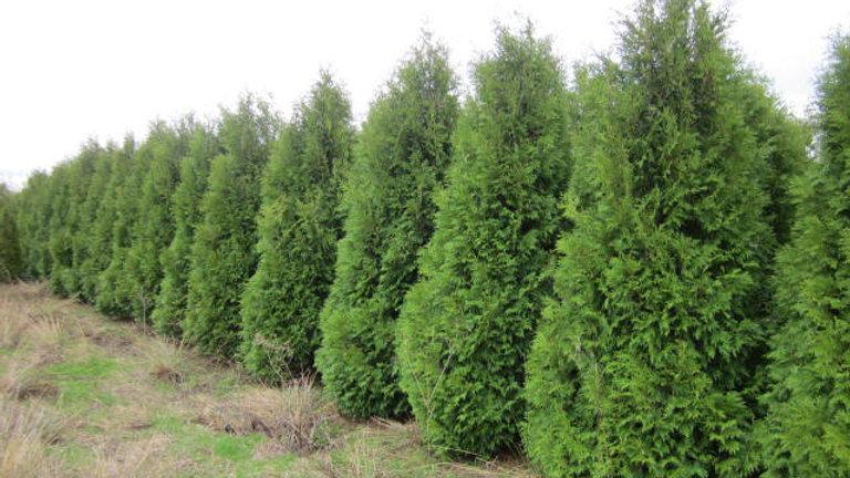 Thuja occidentalis 'Nigra' DARK GREEN ARBORVITAE