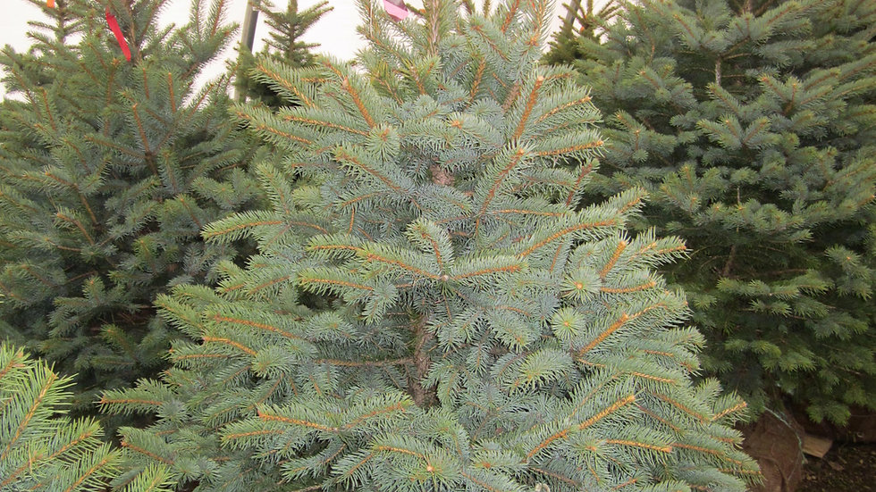 Picea pungens glauca COLORADO BLUE SPRUCE