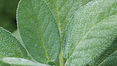 Salvia officinalis COMMON SAGE