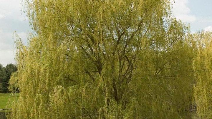 Salix alba 'Tristis' NIOBE GOLDEN WEEPING WILLOW