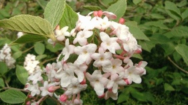 Viburnum carlesi KOREAN SPICE VIBURNUM