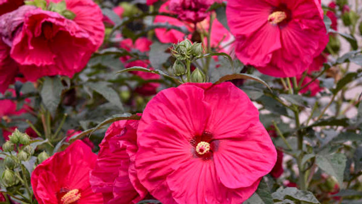 Hibiscus 'Summer In Paradise' (PP 28,730) SUMMER IN PARADISE HARDY HIBISCUS