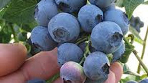 Vaccinium corymbosum 'Blue Ray' BLUE RAY HIGHBUSH BLUEBERRY