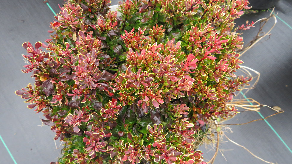 Berberis thunbergii 'Goruzam' (PP 16,203) GOLDEN RUBY® BARBERRY