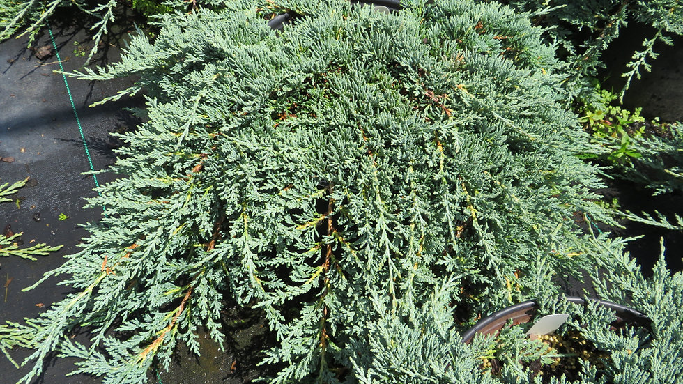 Juniperus horizontalis 'Monber' ICEE BLUE® JUNIPER