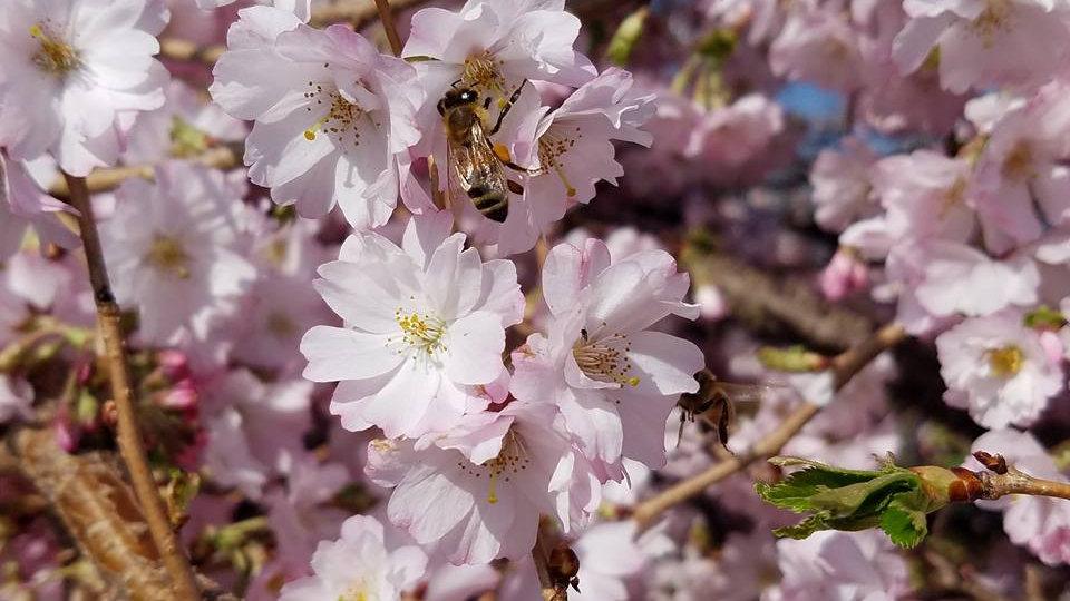 Prunus subhirtella 'Autumnalis' AUTUMN FLOWERING CHERRY a.k.a HIGAN CHERRY