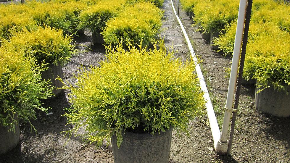 Chamaecyparis pisifera filifera aurea nana DWARF GOLD THREAD CYPRESS