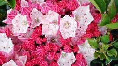 Kalmia latifolia 'Raspberry Glow' RASPBERRY GLOW MOUNTAIN LAUREL