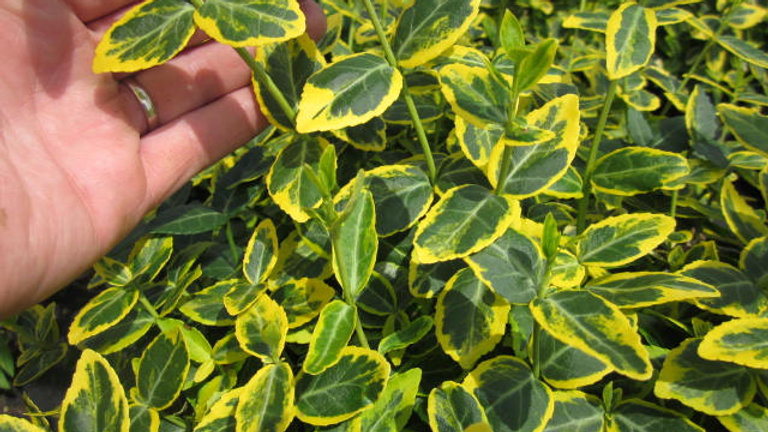 Euonymus fortunei 'Emerald 'n Gold'  EMERALD 'N GOLD EUONYMUS
