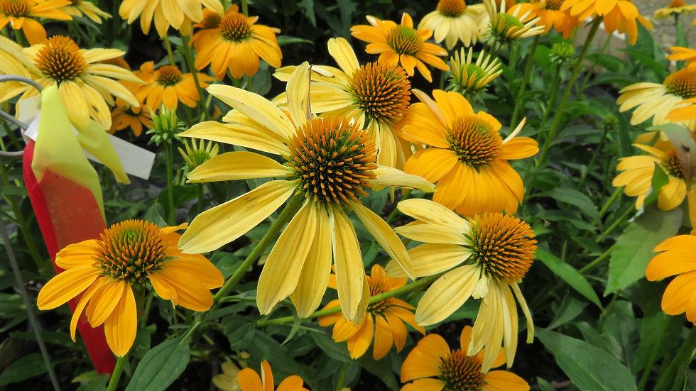 Echinacea 'Balsomold' (PP 30,115) SOMBRERO® GRANADA GOLD CONEFLOWER