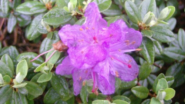 Rhododendron 'Ramapo' RAMAPO RHODODENDRON