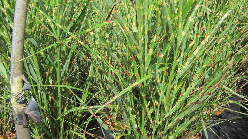 Miscanthus sinensis strictus PORCUPINE MAIDEN GRASS