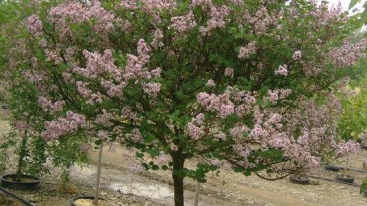 Syringa meyeri 'Palabin' TOP GRAFTED DWARF KOREAN LILAC TREE