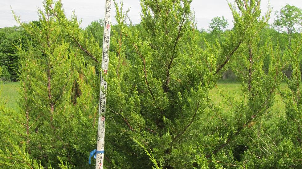 Juniperus chinensis 'Hetzii Columnaris' HETZ COLUMNAR JUNIPER