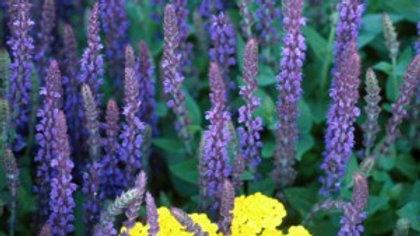 Salvia x superba 'Ostfriesland' EAST FRIESLAND HYBRID SAGE