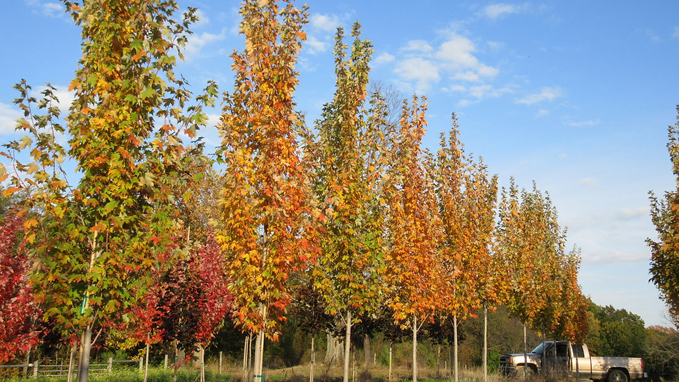 Acer rubrum 'Armstrong' ARMSTRONG MAPLE