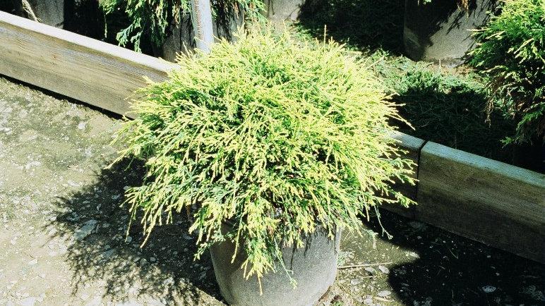 Chamaecyparis pisifera filifera 'Sungold' SUNGOLD FALSE CYPRESS
