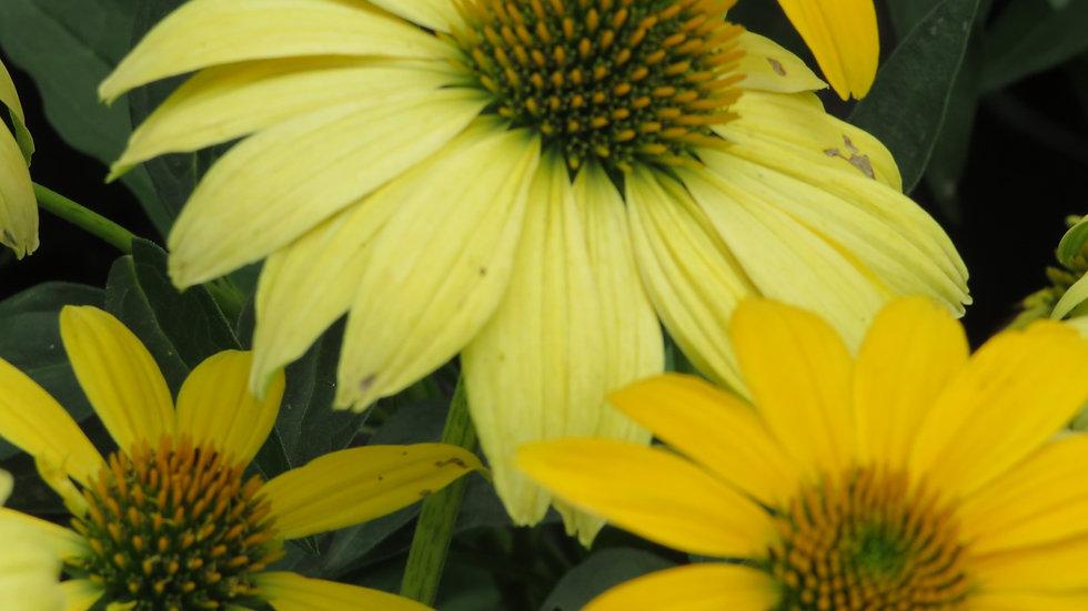 Echinacea 'Balsomemyim' (PP 30,116)  SOMBRERO® LEMON YELLOW IMPROVED CONEFLOWER