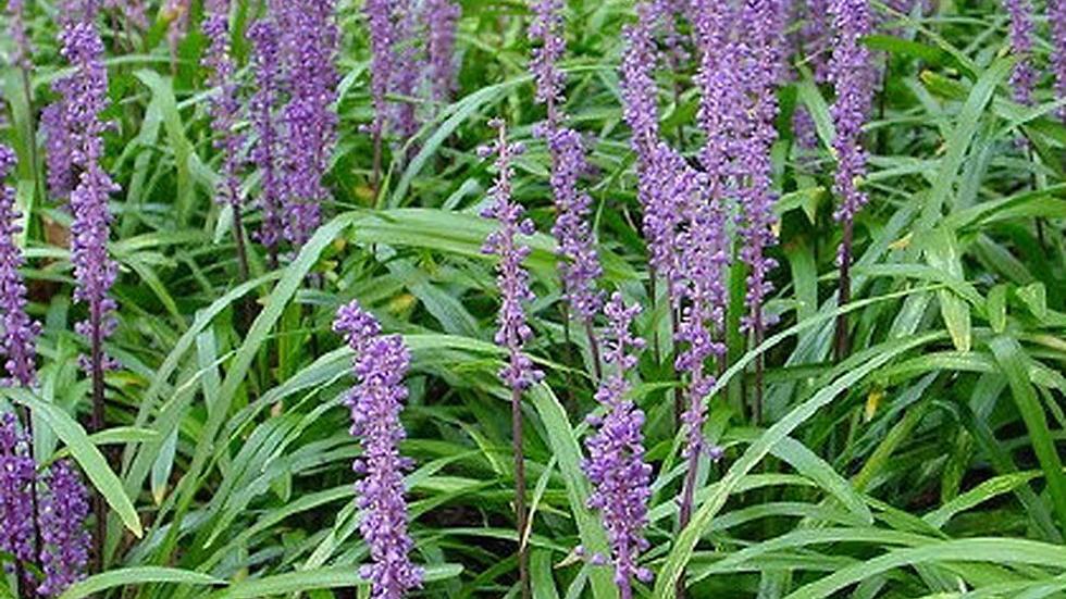 Liriope muscari 'Royal Purple' ROYAL PURPLE LIRIOPE