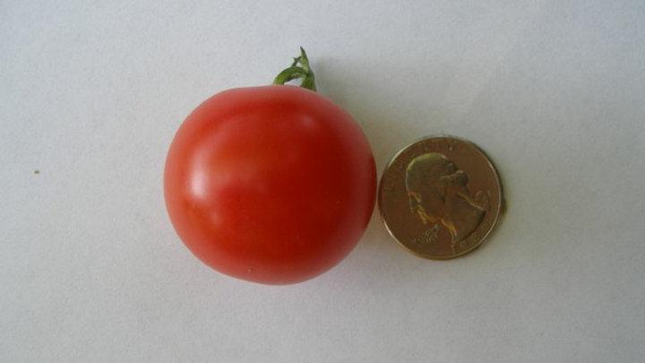 Tomato 'Super Sweet 100 VF' SUPER SWEET 100 VF CHERRY TOMATO