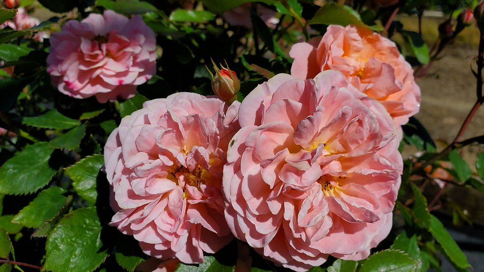 Rosa 'Meimirrote' (PP23,354) APRICOT DRIFT® ROSE