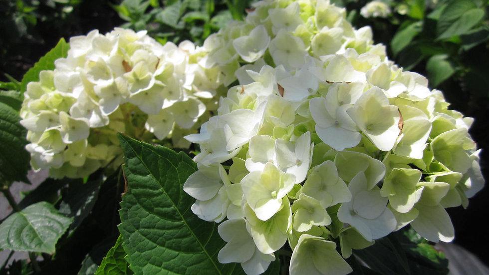 Hydrangea mac 'Blushing Bride' (PP 17,169) ENDLESS SUMMER® BLUSHING BRIDE HYDRAN