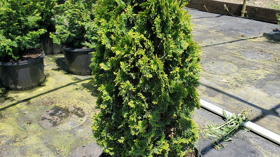 Thuja occidentalis 'Degroot's Spire' DEGROOT'S SPIRE ARBORVITAE