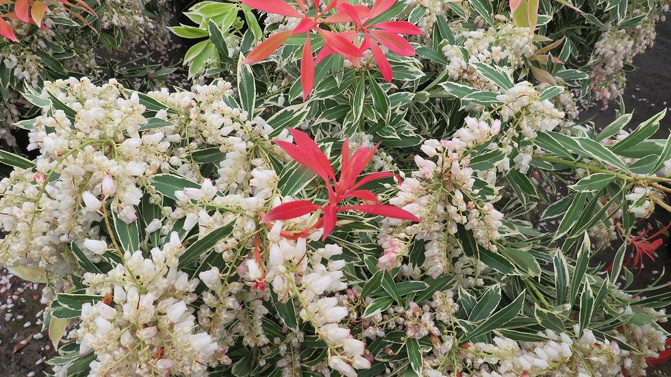 Pieris japonica 'Flaming Silver' FLAMING SILVER PIERIS