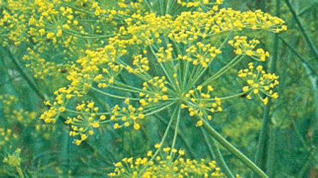 Anethum graveolens 'Bouquet' BOUQUET DILL