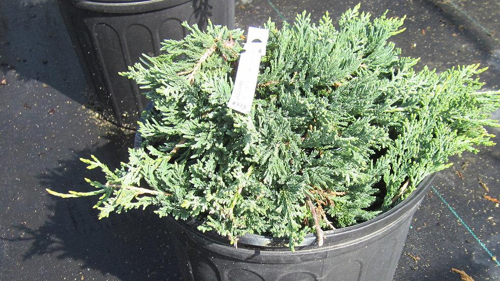 Juniperus horizontalis 'Wiltoni' BLUE RUG JUNIPER