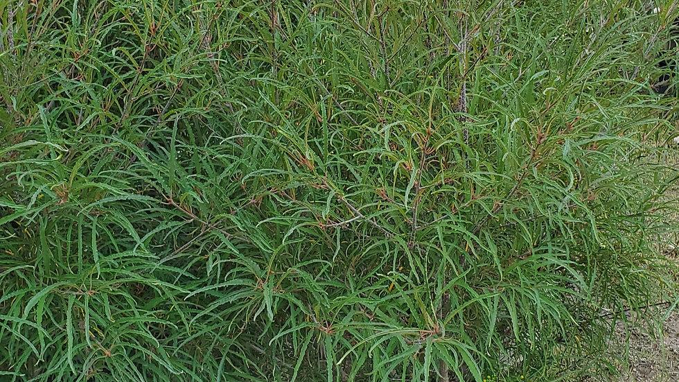 Rhamnus frangula asplenifolia 'Fernleaf' FERNLEAF BUCKTHORN