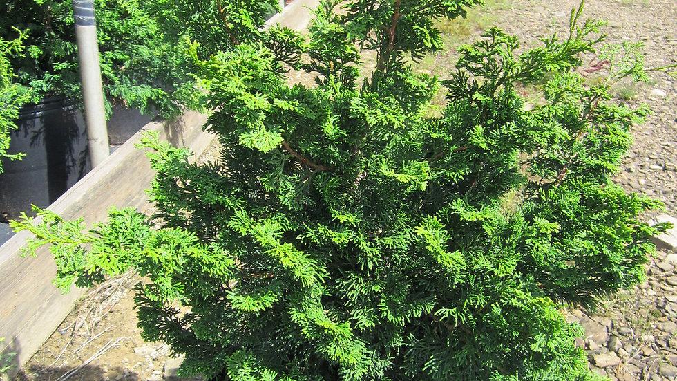 Chamaecyparis obtusa 'Nana Gracilis' DWARF SLENDER HINOKI FALSE CYPRESS