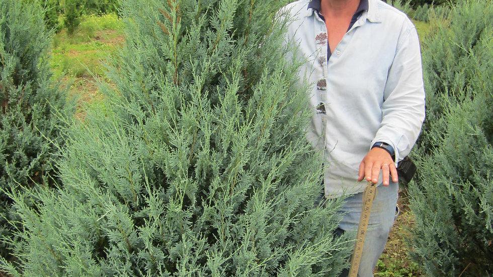 Juniperus scopulorum 'Wichita Blue' WICHITA BLUE JUNIPER