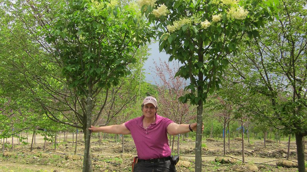 Syringa reticulata 'Ivory Silk' (Single Stem) IVORY SILK® JAPANESE TREE LILAC