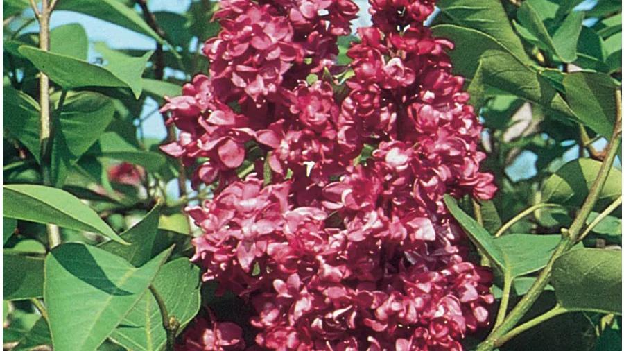 Syringa vulgaris 'Charles Joly' CHARLES JOLY FRENCH LILAC