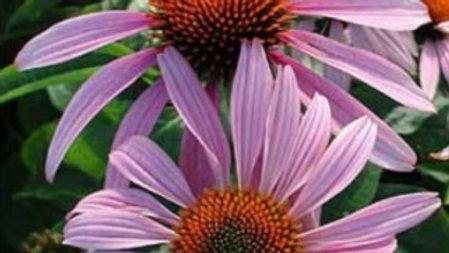 Echinacea purpurea 'Magnus' MAGNUS PURPLE CONE FLOWER