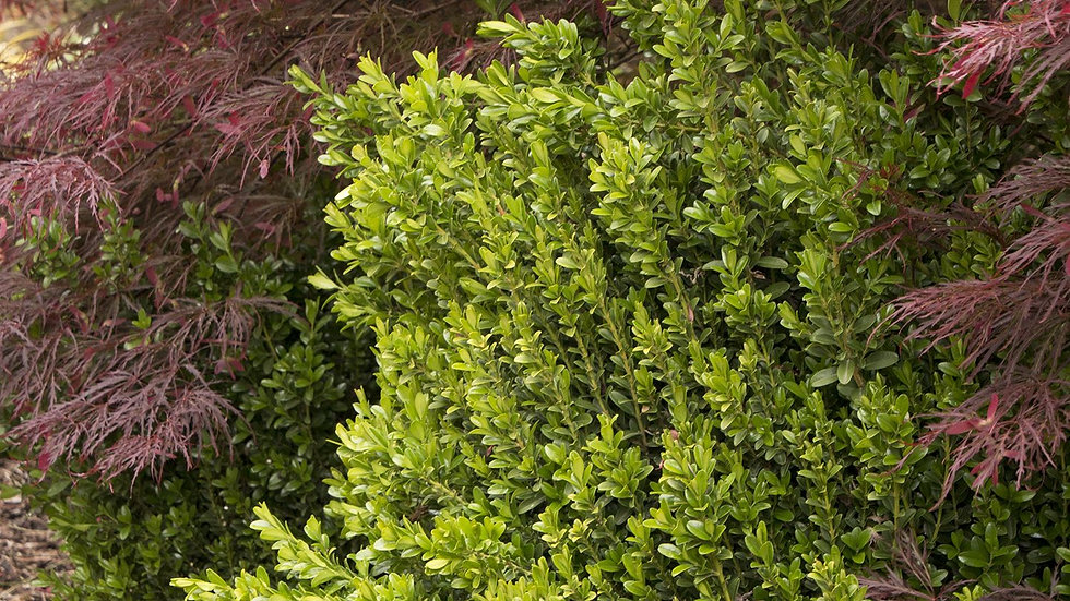 Buxus microphylla koreana 'Wee Willie' (PP 17,007) WEE WILLIE® BOXWOOD