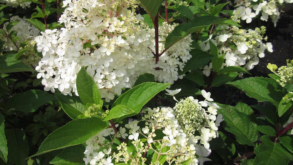 Hydrangea quercifolia 'Ruby Slippers' RUBY SLIPPERS DWARF OAKLEAF HYDRANGEA